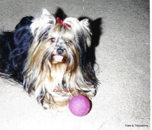 Picture of Nicky, my Yorkshire Terrier